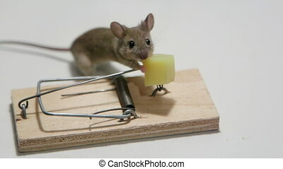 Careless mouse eating cheese in a mouse trap. Canon C100,...