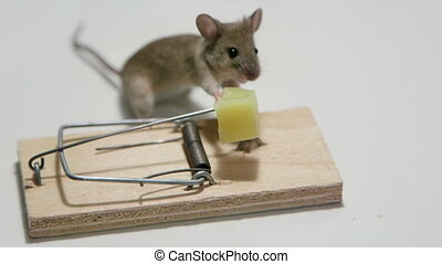 Funny mouse eating cheese in a mousetrap. Canon C100, 60i