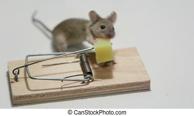 Survivor mouse eating cheese in a mousetrap