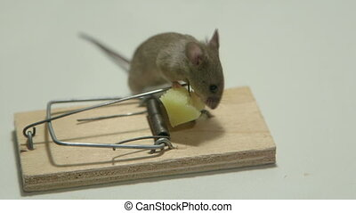 Mouse eating cheese of the trap - Lucky mouse eating cheese...