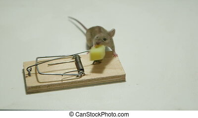 Funny little mouse eating cheese of the mousetrap Canon...