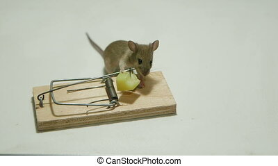 Little house mouse eating cheese of the mousetrap. Canon...