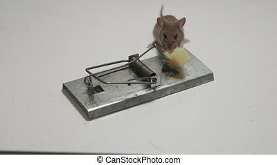 free cheese is in mousetrap - Funny little mouse eating...