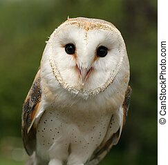 Barn Owl - Inquisitive Barn Owl at the Weyhill Hawk...