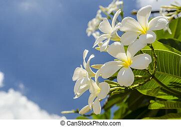 Frangipani flower - beautiful frangipani on blue sky