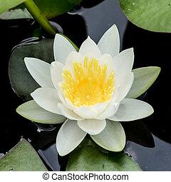 白色, 水, 百合花, 或者, 蓮花
