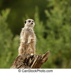 Meercat - Male Meercat guarding his family from preditors