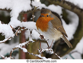 Robin in winter - Robin looking for food in a snow covered...
