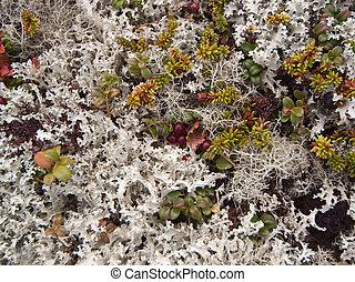 Lichen - Surface of a bushy lichen in tundra