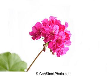 Geranium - Flower plants geraniums.