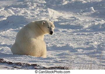Polar bear sitting, and looking - A sitting polar bear turns...