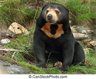 Sun Bear (Helarctos malayanus) - Sean the Sun bear at...