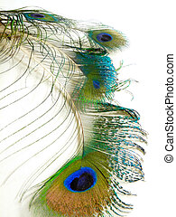 Peacock Feathers - grouping - Four interesting peacock...