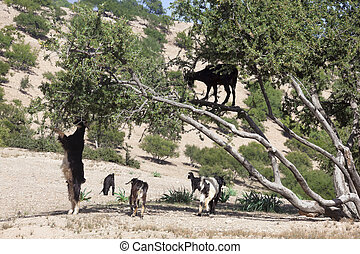 Argan tree (Argania spinosa) with goats. This tree is...