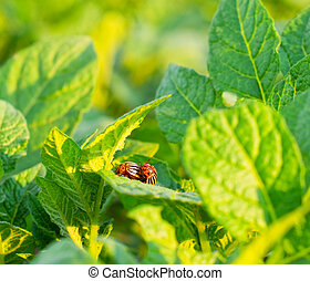 The Colorado potato beetle on the leaves of potatoes