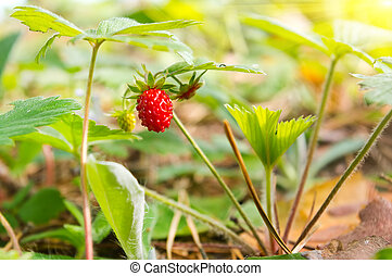 Wild strawberry berry in the forest