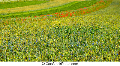 Green fields before harvest at summer