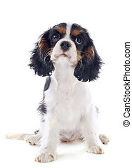 puppy cavalier king charles - young tricolor cavalier king...