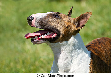 Bull terrier on  grass  - Bull terrier on the green grass
