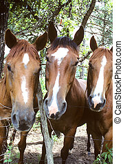 Three Musketeers - Close-up of three horse heads looking at...