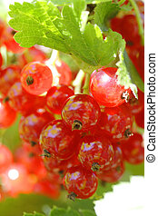 Red currant berries in the garden