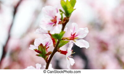 pink cherry flowers blooming in spr