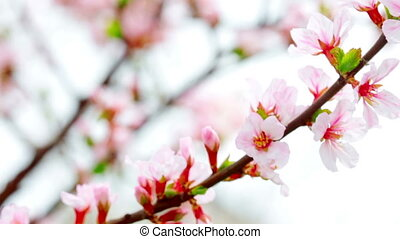 pink cherry flowers blooming in spr