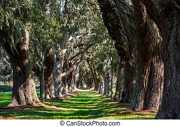 Oak Tunnel with Spanish Moss - LInes of old oak trees around...