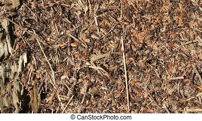 Anthill - Close-up view of moving ants at anthill