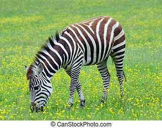 Grant's Zebra grazing in grassland