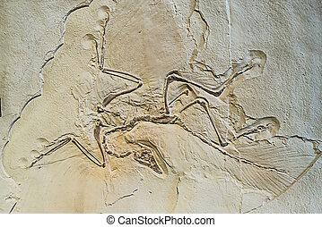 Archaeopteryx, fósiles