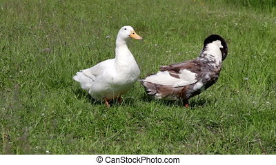 Domestic ducks - Two Domestic ducks resting in a meadow