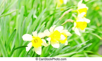 narcissus in the green grassherb, sway, green, white,