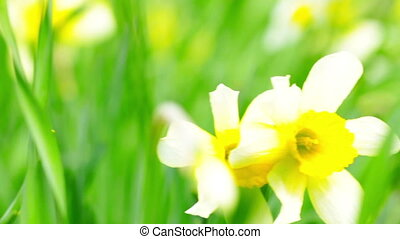 narcissus in the green grass