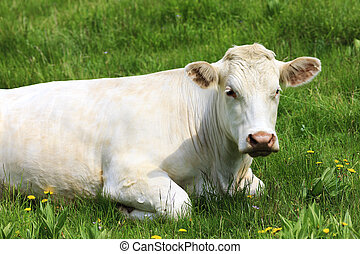 white cow on green grass
