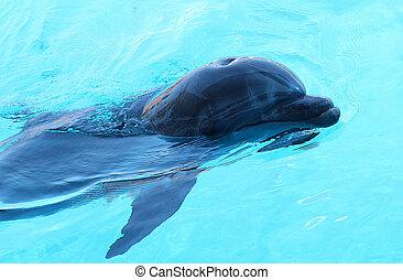 uno, delfino, nuoto, stagno