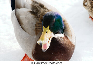 Mad Mallard Duck - A mallard duck on a background of snow...