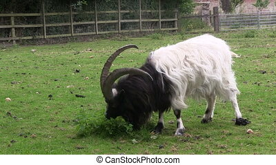 Long horned goat grazing in a field