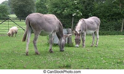 Two donkeys grazing in a field.