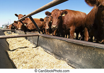 Feeding Bunks - Feeding bunks on a farm in Saskatchewan