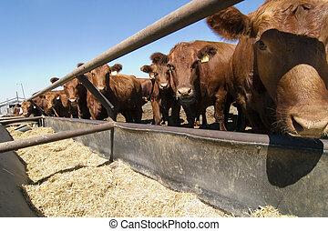 Feeding Bunks - Feeding bunks on a farm in Saskatchewan