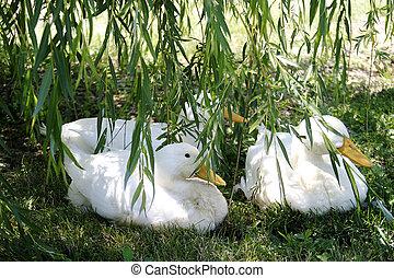 Ducks - Three White Ducks