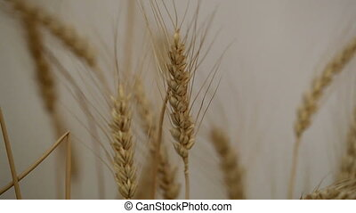 wheat - spikelets of wheat