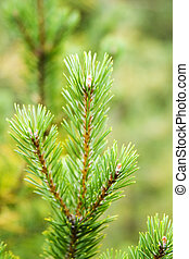Pine Tree detail, isolated against a forest background
