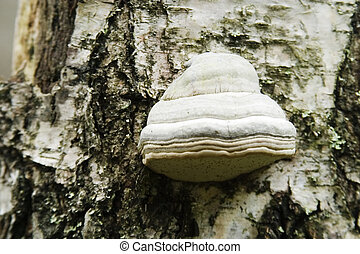 Tree Fungus - Detail of a fungus growing on the side of a...