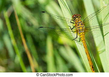 A dragonfly Cordulia aenea warming its wings in the early...