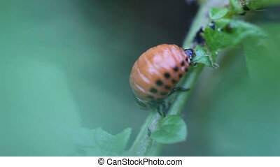 larva - Colorado potato beetle larva