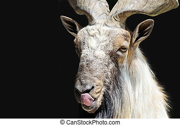 Markhor goat head with tongue close-up