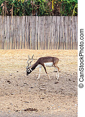 black buck walking vertical - Twisted spiral horn black buck...