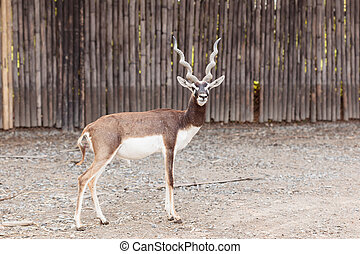 black buck standing looking camera - Twisted spiral horn...